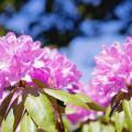Rododendrons in de tuin.